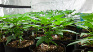Armario cultivo marihuana interior