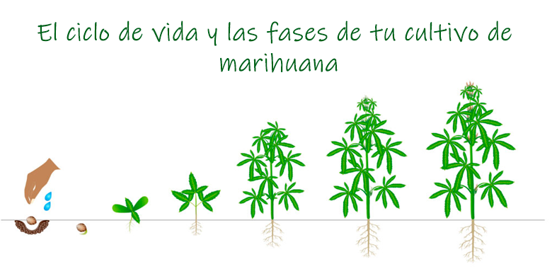 Grow Shop Madrid - Fases cultivo marihuana